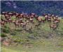 Large Group of Elk