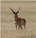 Pronghorn looking at the camera
